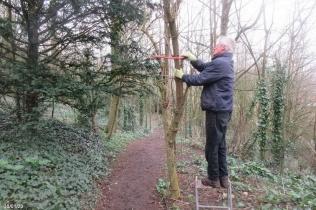 pollarding an elder tree