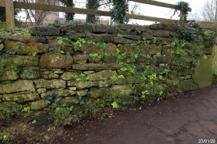 the wall below St Andrew's cemetery with Wall Pennywort (Umbilicus rupestris