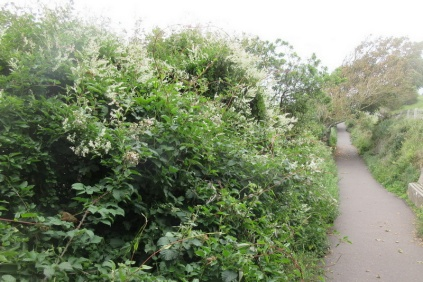 invasive Russian Vine along the coastal path
