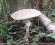 Shaggy parasol Chlorophyllum rhacodes Wain's Hill Sept 2020